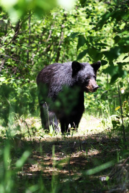 Black Bear visitor