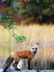 Camp Fox