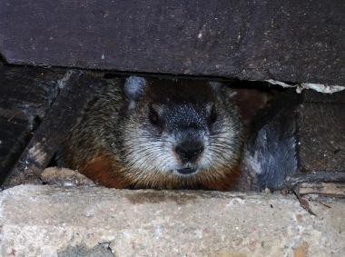 Peeking critter